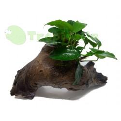 Composizione Legno Mopani con anubias nana