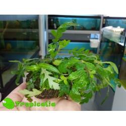 Anubias Hygrophyla Pinnatifida su sfagno